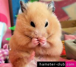 hamstergrooming
