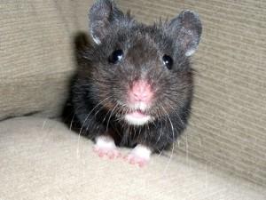 black-bear-hamster